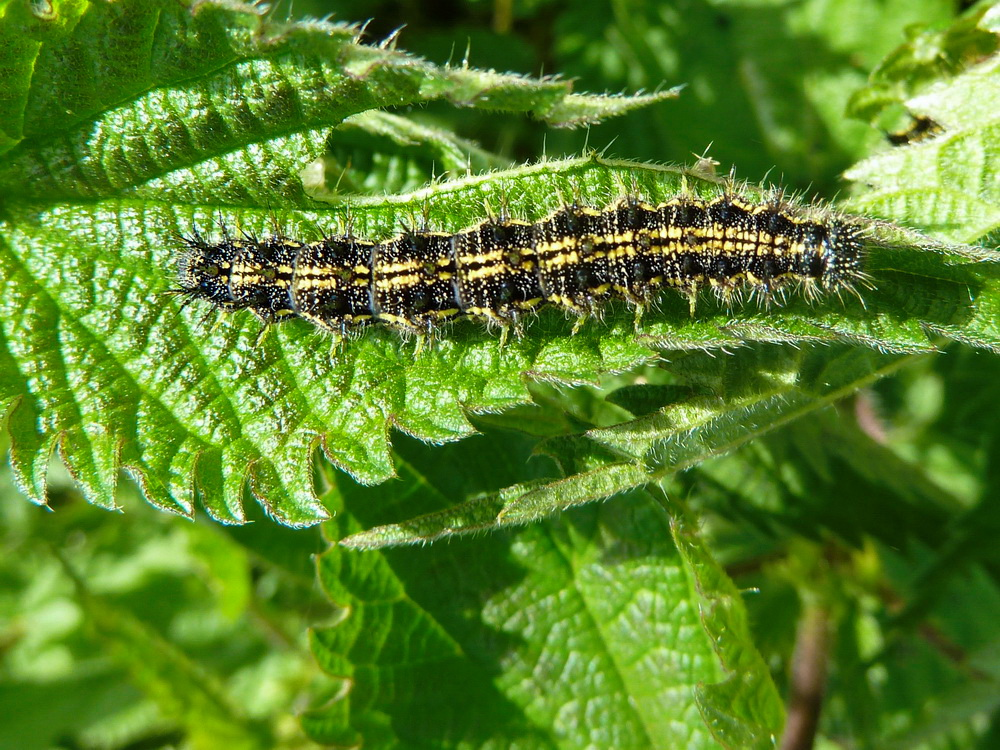 Small Tortoiseshell caterpillar on nettle