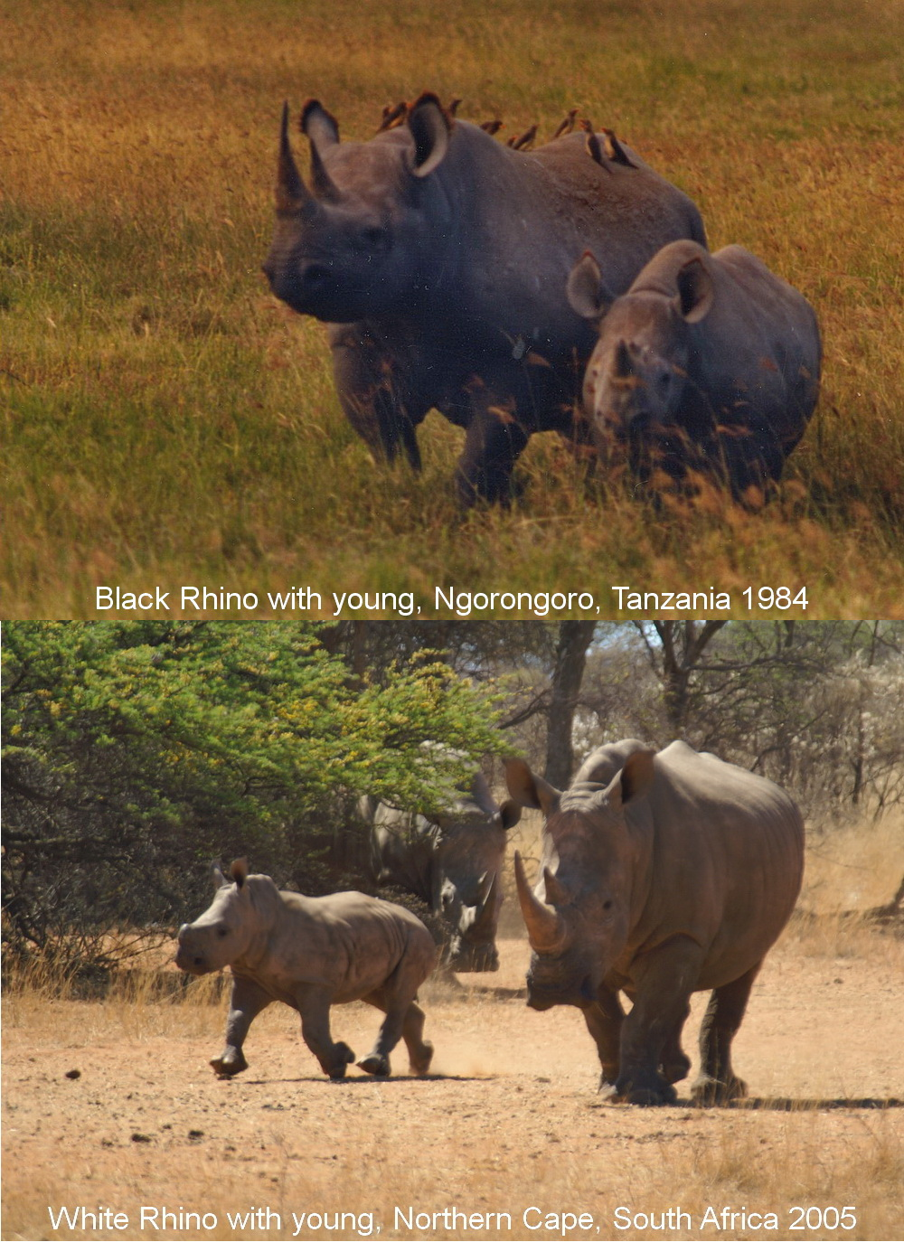In 1984, the southern White (or square-lipped) Rhinoceros was critically endangered, while the Black (or hook-lipped) Rhinoceros was relatively safe. How things change!