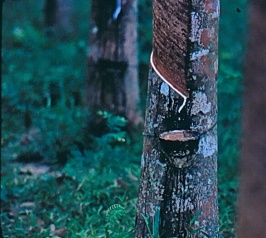 Tapping rubber