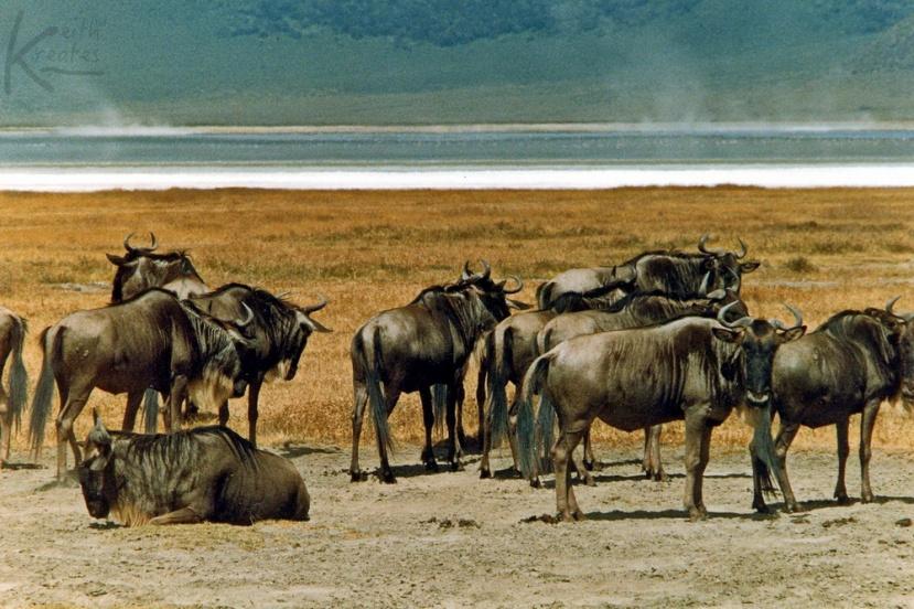 Wildebeesta