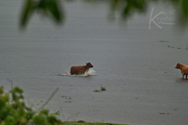 Cattle in floodwater